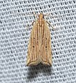 - 2268 – Helcystogramma hystricella – Lanceolate Helcystogramma Moth (17027922409).jpg