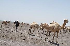 01 camel.jpg