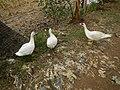 0328jfLands Culianin Ducklings Plaridel Bulacan Cattle Fieldsfvf 24.JPG