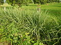 0369jfPulilan Balatong Manggo Fields grass Bulacanfvf 42.JPG