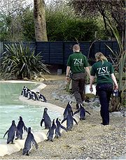 Black footed penguins at feeding time