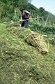 046 Fienagione - uomo raccoglie l'erba in una gerla.jpg