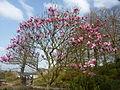 051 Château de Trévarez Magnolia Star Wars en fleurs.JPG