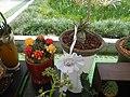 05667jfMidyear Orchid Cactus Shows Quezon Cityfvf 01.JPG