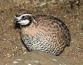 071 - NORTHERN BOBWHITE (3-10-12) falcon lake state park, tx (3) (8718705513).jpg