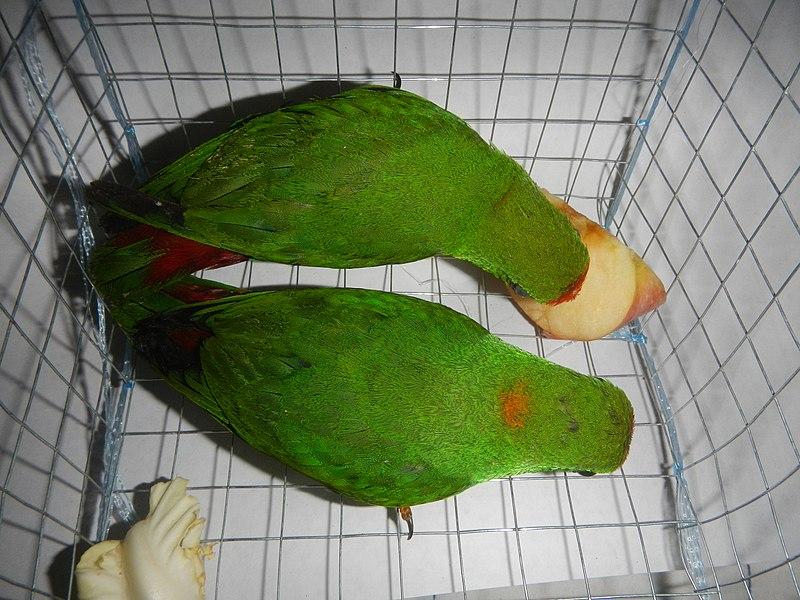 File:09949jfPhilippine Hanging Parrot Bulacanfvf 03.jpg
