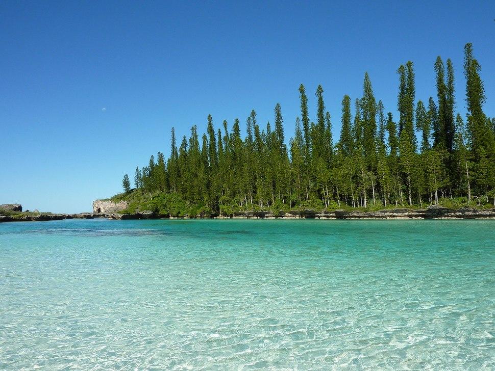 0 Araucaria columnaris New Caledonia