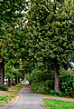 Lindenallee-Winterlinde (Tilia cordata)