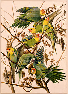 1863 17 26 Parakeet.jpg
