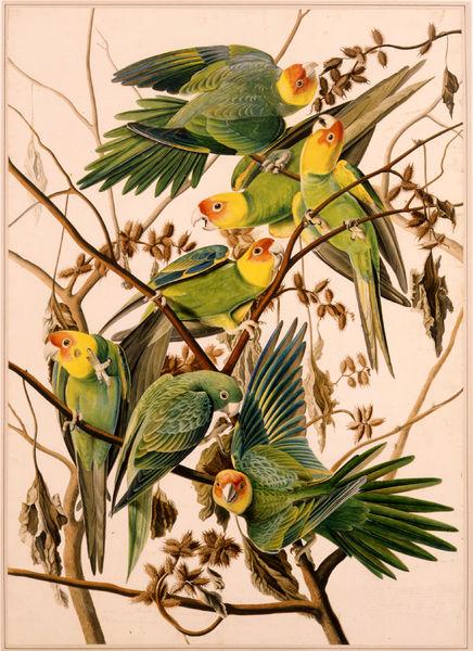 Society parakeet -Description