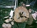 1 Anoplophora glabripennis Lochfraß.JPG