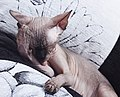 1 adult cat Sphynx. img 031.jpg