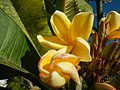 2002Plumeria acuminata 14.jpg