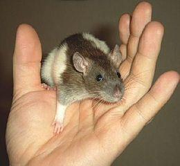 rat muis