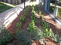 2012-12-04 landscaping along sidewalk.jpg