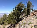2013-06-27 12 31 39 Mature Great Basin Bristlecone Pine at the summit of Spruce Mountain, Nevada.jpg