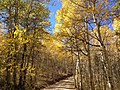 2014-10-04 13 05 00 View of Aspens during autumn leaf coloration along Charleston-Jarbidge Road (Elko County Route 748) in Copper Basin about 7.2 miles north of Charleston, Nevada.jpg