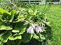 2015-07-05 13 51 16 Hosta flowers along Terrace Boulevard in Ewing, New Jersey.jpg