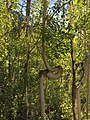 2015-07-13 07 24 15 A very crooked Aspen along the North Loop Trail about 5.1 miles west of the trailhead in the Mount Charleston Wilderness, Nevada.jpg