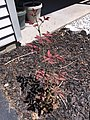 2015-07-22 12 25 47 Rose bush growing back from a cut stump along Tranquility Court in the Franklin Farm section of Oak Hill, Virginia.jpg