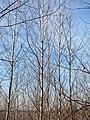 20150309Betula pubescens2.jpg