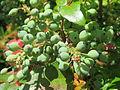 20150602Mahonia aquifolium2.jpg