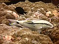 2015 09 Bali 19 goatfish salon (22066903936).jpg