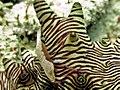 2015 09 Bali 65 emperor shrimp (22093261185).jpg