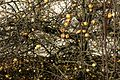 2016.12.28.135835 Apples near Train Station (prolongation Wilhelmstrasse) Bad Rappenau.jpg