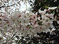 2017-04-03 15 46 35 White Flowering Cherry flowers along Scotsmore Way near Kinross Circle in the Chantilly Highlands section of Oak Hill, Fairfax County, Virginia.jpg