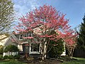 2017-04-15 16 51 44 Pink Flowering Dogwood in bloom along Ladybank Lane in the Chantilly Highlands section of Oak Hill, Fairfax County, Virginia.jpg