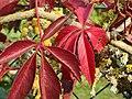 20170926Parthenocissus quinquefolia4.jpg