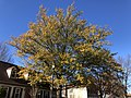 2019-11-29 12 36 23 A Water Oak turning yellow in late autumn along White Barn Lane in the Franklin Farm section of Oak Hill, Fairfax County, Virginia.jpg