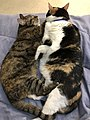 2020-03-22 10 03 48 A Tabby cat and a Calico cat cuddling on a bed in the Franklin Farm section of Oak Hill, Fairfax County, Virginia.jpg