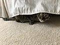 2020-05-06 16 47 31 A tabby cat hiding under a bed in the Franklin Farm section of Oak Hill, Fairfax County, Virginia.jpg