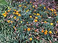 2020-11-15 11 56 57 Marigolds blooming along Kinross Circle in the Chantilly Highlands section of Oak Hill, Fairfax County, Virginia.jpg