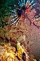 42-EastTimor-Dive 1 Tasi-Tolu 20 (Lionfish and Leaf Scorpionfish)-APiazza.JPG