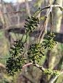 4309 lichen covered alder cones (8434106408).jpg