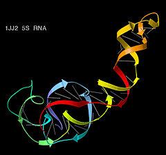 5S ribosomal RNA ribbons