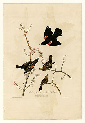 67 Red-winged Starling or Marsh Blackbird.jpg