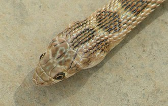 Temporal scales - Glossy-bellied Racer Coluber ventromaculatus