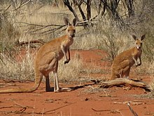 vA pair of kangaroos, with reddish-brown fur, standing up on an area of red sand and surrounded by patches of dry vegetation.