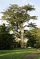 A Blarney castle Tree - geograph.org.uk - 596689.jpg