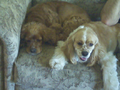 A Buff Parti-color and an ASCOB American cocker spaniel.png