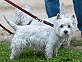 A West Highland White Terrier Earthdog Trial.jpg