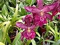 A and B Larsen orchids - Beallara Marfitch Howards Dream Dscn3088.jpg