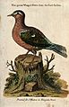 A green winged dove from the East Indies sitting on a tree s Wellcome V0021322.jpg