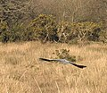 A heron on the wing - geograph.org.uk - 712742.jpg