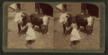 A little farmer girl and a splendid pair of Herefords -- bull and cow -- stock farm, Kansas, by Underwood & Underwood.png