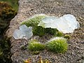 "A moss (Grimmia pulvinata), with ""mystery jelly"" - geograph.org.uk - 1182111.jpg"